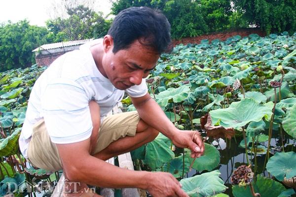 Không một ai ở đây ở Ninh Xá không biết tới gã khùng Hạnh sen, người đàn ông sở hữu đến cả chục loài sen độc, lạ và quý hiếm. Vậy nên, việc chúng tôi tìm ra khu trồng sen của anh Hạnh là điều không quá khó.