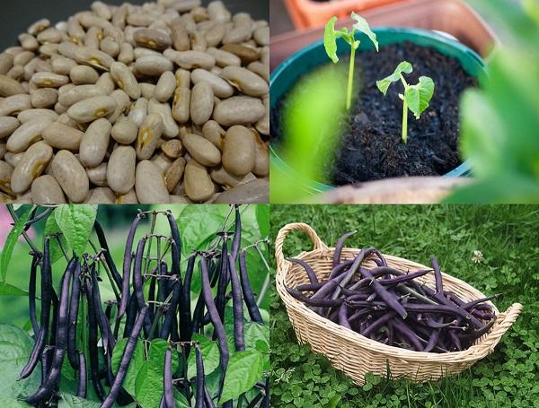 Loại đậu thích hợp nhất để trồng vào tháng 10 là đậu cô ve tím.
