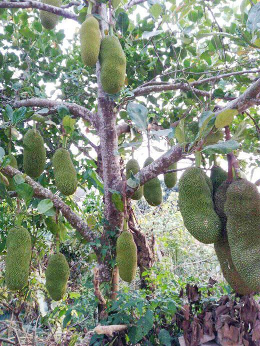 Theo chia sẻ của các nhà vườn, cây con sau khi trồng sau 2 - 3 năm đã có thể cho sai quả.