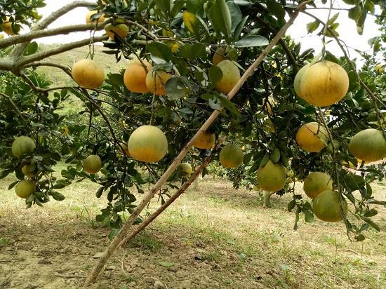 Những cây bưởi Diễn trong vườn nhà anh Mai Văn San quả sai lúc lỉu, phải chống đỡ để tránh bị gẫy cành