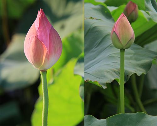 Hoa quỳ (bên trái) có màu hồng đậm, búp dài và nhọn hơn hoa sen (bên phải).