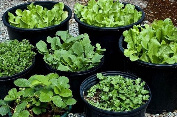 Các loại rau cải ngọt, cải cúc, cải mơ,...hay một số loại rau gia vị như thì là, rau mùi,...cũng rất phù hợp để trồng vào tháng 10.
