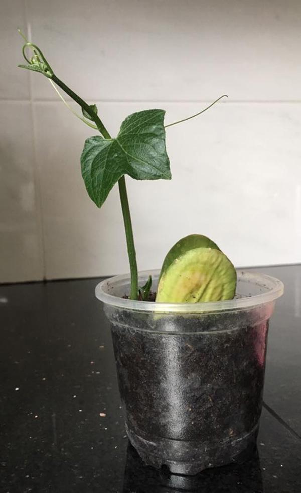 Sau khoảng 20 ngày là bạn có thể trồng cây ra vườn hoặc thùng xốp. Lưu ý khi trồng nên nhẹ tay, tránh ảnh hưởng tới bộ rễ của cây.
