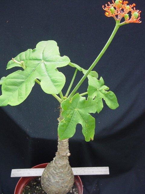 Cây ngô đồng (tên khoa học Jatropha podagrica)