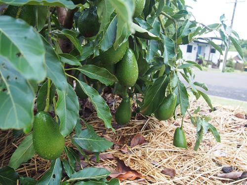 Dù trồng ven đường nhưng nguồn thực phẩm này được kiểm định sạch sẽ, bảo đảm an toàn.