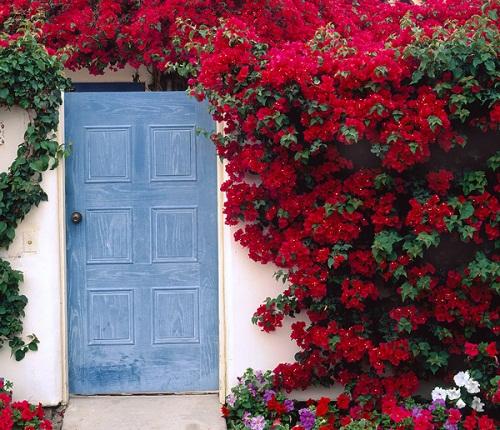 Mẹo Trồngnhững Giàn Hoa Giấy đẹp Mê đắm