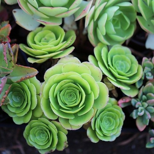 """Một trong những loại cây lá bỏng khiến dân mạng """"phát sốt"""" gần đây là cây lá bỏng """"mọc"""" ra hoa hồng xanh, tên khoa học là Aeonium aureum – Green Rose Buds."""