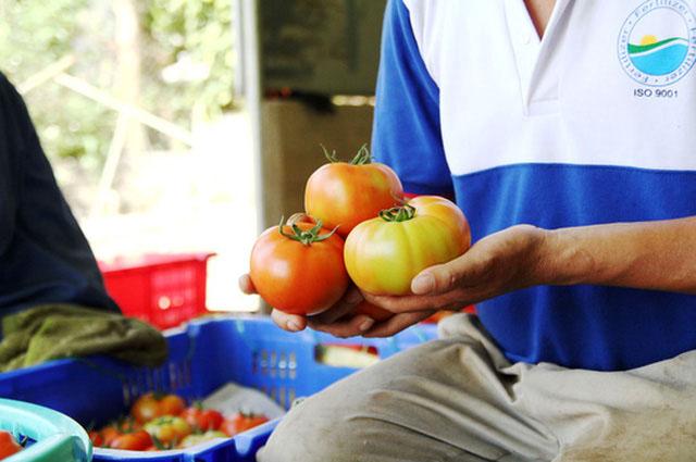 """Cà chua Sakata (Nhật Bản) không chỉ có vị chua thanh ngọt, thơm ngon mà còn nổi tiếng """"siêu khủng"""". Ảnh: Đình Thi"""