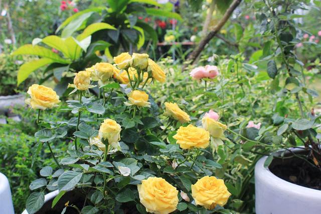 Những bông hồng khoe sắc quanh năm tạo nên vẻ đẹp độc đáo, ấn tượng cho khu vườn. Ngoài những loại hoa hồng quý hiếm được ông Hùng sưu tập, nhân giống từ khắp mọi nơi, khu vườn của ông Hùng còn có nhiều loại cây quý được ông bảo tồn, chăm sóc