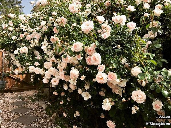 Hàng rào hoa hồng đẹp như cổ tích...