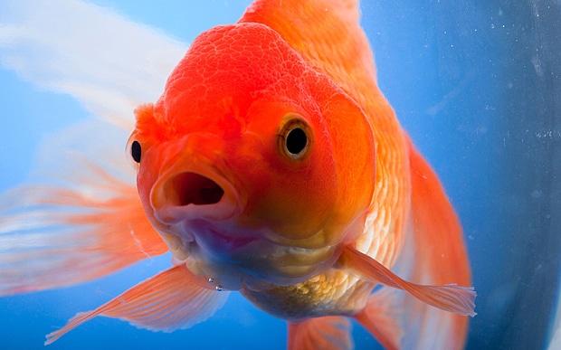 Mặt ngơ ngơ vậy thôi chứ cá vàng cũng có trí nhớ khá tốt trong thế giới động vật.