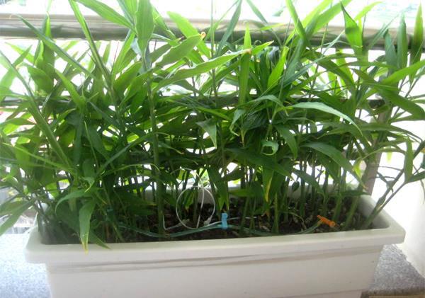 Gừng được trồng trong chậu.