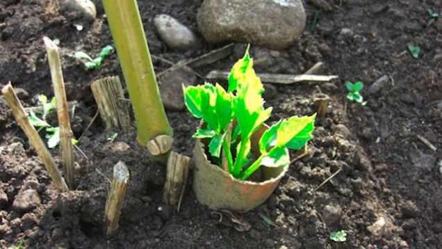 Thay vì ném vào thùng rác, hãy cắt chúng thành các mảnh và rào xung quanh những cây con mới trồng để bảo vệ cây khỏi một số loài gây hại như sên. Bạn có thể sử dụng ngay khi mới gieo hạt trồng cây.