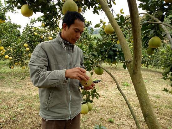Anh Mai Văn San đang thao tác cách diệt ruồi vàng hại quả bưởi Diễn.