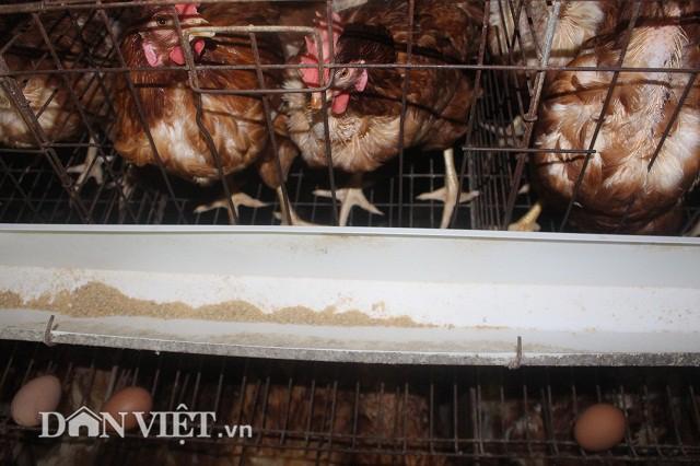 Theo ông Phạm Văn Tràng, gà đẻ siêu trứng Isa Brao và giống Ai-cập lai, 2 loại giống này có ưu điểm là đẻ sai, đẻ siêu khỏe với thời gian đẻ kéo dài liên tục từ 12 đến 13 tháng.