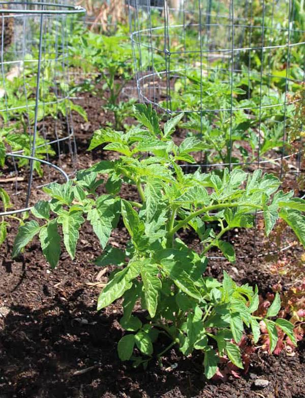 Xem xét làm thêm giàn leo, cọc hoặc lồng để hỗ trợ cây cà chua leo lên cao, tưới nước đều đặn để cung cấp độ ẩm cho cây phát triển.
