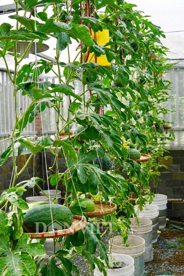 Không chỉ trồng thành công các giống dưa kể trên, anh Thuyên còn tiếp tục mày mò và tự trồng thành công dưa hấu trên sân thượng.