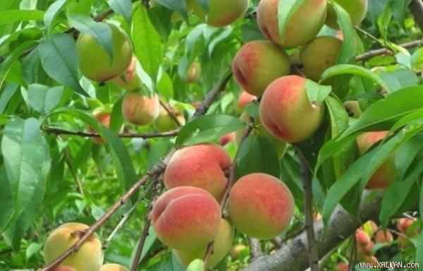 Thực hư công dụng của quả đào rất nhiều người đang hiểu sai