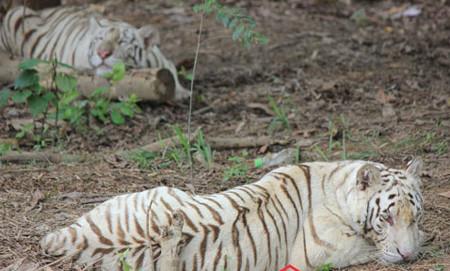 Hổ trắng trưởng thành từ lứa sinh sản đầu tiên ở Trại Bò.