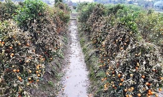 Vườn quất của hộ anh Việt và anh Huế bị phun thuốc diệt cỏ khiến quất chết hàng loạt