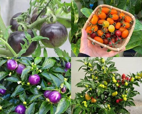 Có sở thích sưu tập các loại rau nên chị Hương trồng tới 3-4 giống cà chua, 2-3 cây ớt trong khu vườn của mình.