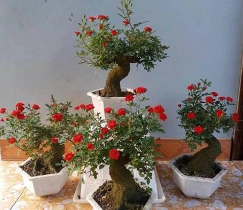 Giống hoa hồng giả cổ chủ yếu là giống hồng đỏ Đức và giống hồng tỷ muội.