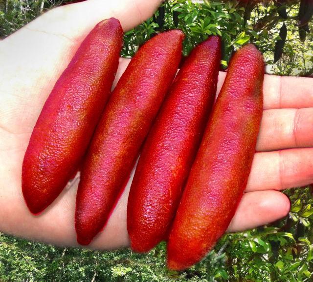 Chanh ngón tay - finger lime (tên khoa học là Microcitrus australasica) là một loài thực vật có hoa thuộc họ cam chanh, và là một trong 6 loài chanh bản địa của Úc. Loại chanh này mọc trong những cánh rừng mưa ven biển phía đông. Loài cây này có nhiều gai, lá nhỏ, kháng sâu bệnh tốt nên chăm sóc cực kỳ đơn giản.