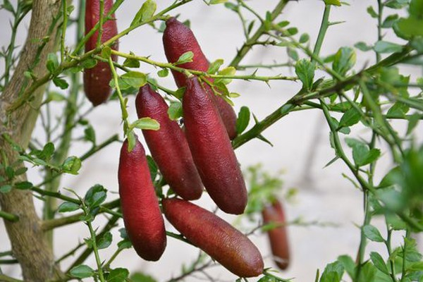 Một số nhà vườn Thái Lan đã nhập giống cây này về trồng và thực hiện chiết ghép để nhân giống bán cho dân bản địa. Tuy nhiên, số lượng không có nhiều bởi bên Thái Lan mới chỉ có vài nhà vườn có giống.