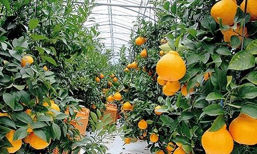 Tại Nhật Bản, để đảm bảo sự ổn định về nhiệt độ, độ ẩm..., cam Dekopon thường được trồng trong nhà kính.