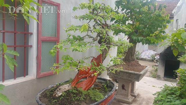 Cây hoa giấy gần 90 năm tuổi, dáng siêu phàm ở Nam Định.