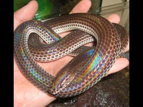Một con rắn hổ hành có vảy ngũ sắc óng ánh dưới ánh sáng mặt trời. Ảnh: IT.