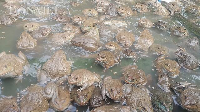 Theo anh Tập, giống ếch Thái Lan lớn rất nhanh và có thể thả được với mật độ rất dày từ 100 con đến 130 con/1m2.