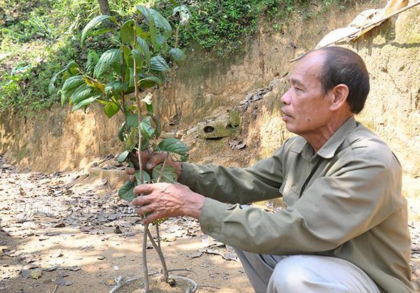 Theo ông Sằm, trung bình sau 4 năm trồng và chăm sóc thì cây hồng vành khuyên bắt đầu cho bói quả.