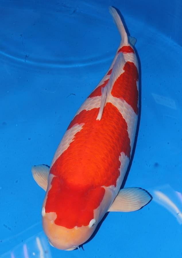 """Chú cá Koi 9 tuổi, thuộc giống Kohaku. (Nguồn: Daily Mail)     Mặc dù không có tiền thưởng cho con cá thắng cuộc, uy tín của việc giành danh hiệu 2 năm liên tiếp sẽ vẫn nâng cao danh tiếng của chú cá này, theo ông Tim Waddington, một chuyên gia nghiên cứu cá Koi người Anh.  Bên cạnh đó, ông Waddington cho biết rằng, tin tức về mức giá kỷ lục 203 triệu Yên đã nhanh chóng lan truyền giữa các đại lý cá Koi ở Anh.  Ông nói với Mail Online: """"Đây là một mức giá kỷ lục cho một con cá chép Koi duy nhất. Với chiều dài tới 101cm, nó rất lớn để đại diện cho giống Kohaku.  Đáng nói, chủ sở hữu mới của chú cá hiếm này sẽ có cơ hội lai tạo cá với tiềm năng sản xuất lên đến 500.000 quả trứng, trong đó không quá 5.000 quả sẽ có chất lượng phù hợp để bán.  Ông Waddington nói: """"Con cá Koi này có thể sống đến tuổi 25 nhưng có khả năng là nó sẽ tiếp tục cạnh tranh trong các chương trình trong 2 năm nữa. Người dân trong thế giới cá chép Koi rất vui mừng bởi đó là một mức giá đáng kinh ngạc cho một con cá độc nhất vô nhị"""".      Cô Yingying, người đã đấu giá thành công chú cá Koi hiếm có với giá 203 triệu Yên. (Nguồn: Daily Mail)       Cá chép Koi, có nguồn gốc từ Nhật Bản, có hơn một chục giống và được phân biệt bởi màu sắc, tạo hình và độ phổ biến.  Theo đó, giống Kohaku là một giống cá Koi có màu trắng với những mảng màu đỏ trên thân. Để trở thành một con cá Koi giống Kohaku hoàn hảo, màu trắng phải nguyên sơ mà không có bất kỳ sự lệch chuyển sang màu vàng nào.  Từ trước tới nay, Nhật Bản vẫn là nước sản xuất cá Koi lớn nhất với 90% sản lượng dành cho xuất khẩu.  Trong năm 2016, Nhật Bản đã xuất khẩu kỷ lục 295 tấn cá chép Koi mang lại doanh thu hơn 28 triệu bảng Anh.  Theo Daily Mail/ Dân trí"""