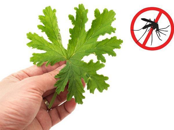 Húng quế, húng chanh, tỏi, sả, bạc hà, cây hương thảo hoặc cúc vạn thọ là thực vật tự nhiên có thể đuổi muỗi.