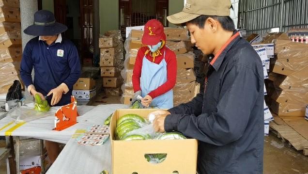 Cuối cùng, những gói chuối sẽ được đóng vào thùng theo đúng trọng lượng yêu cầu rồi hút chân không, đưa lên xe đônglạnh và vận chuyển đến TP. Hồ Chí Minh.