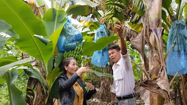 Bà Thơ chia sẻ kỹ thuật chăm sóc chuối để đủ điều kiện xuất khẩu qua Nhật Bản.