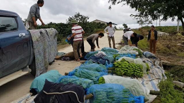 Chuối Laba được bốc lên xe để đưa về xưởng chế biến, mỗi buồng chuối sẽ được bọc một lớp vải dày tránh gãy, xước vỏ khi vận chuyển.