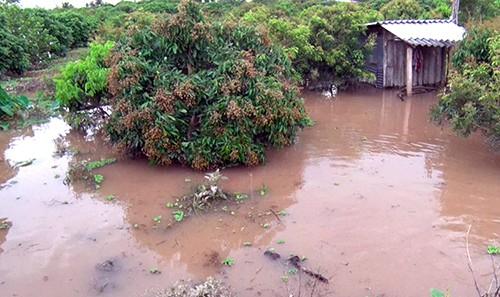 Vườn nhãn ở xã cù lao Đồng Phú bị ngập. Ảnh: Hưng Lợi.