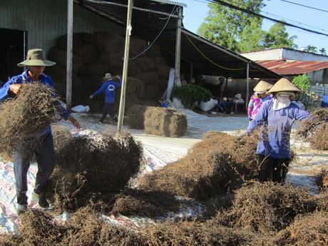 Các cơ sở thu mua, sơ chế sương sáo ở huyện Phụng Hiệp (Hậu Giang) đang tất bật vào vụ.
