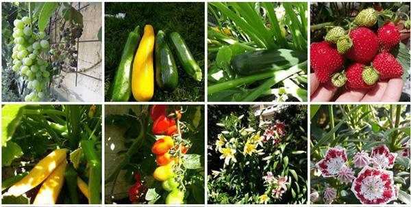 Ngoài ra, chị còn trồng thêm rau ăn phục vụ gia đình.