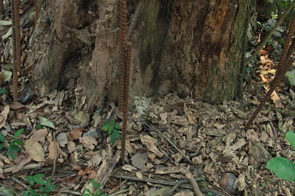 Thân cây bị bệnh và đang có biển hiện bong tróc ở ngoài lớp vỏ.