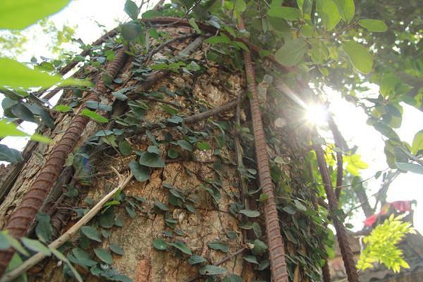 Tuy nhiên vẫn có những cây con và cây thân leo sống khỏe mạnh nhờ loại cây thân gỗ này.