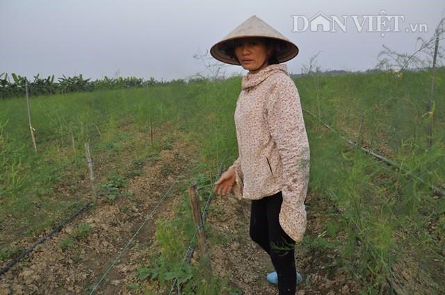 Bà Nguyễn Thị Thanh Hòa (khu 4, xã Sông Lô, TP Việt Trì) bên vườn măng tây xanh