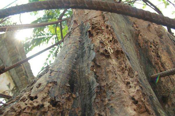 Sau thời gian dài, cây chịu nhiều mối mọt.