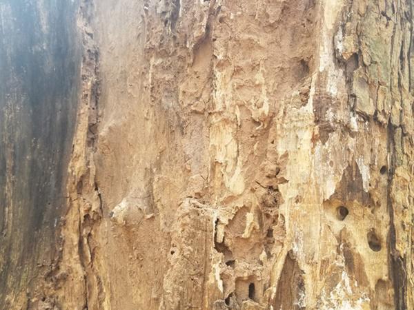 Cận cảnh mối mọt đục khắp thân cây