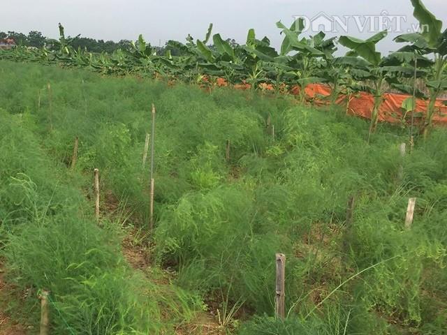 Mỗi ngày, gia đình bà Hòa thu khẩng 3-4 triệu đồng từ 1ha măng tây xanh này