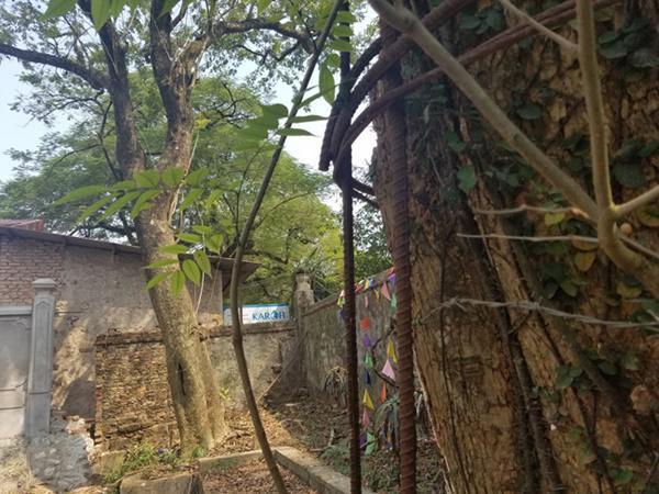Dân làng Phụ Chính chia sẻ: Ban đầu cây sưa khủng này có 2 nhánh lớn. Năm 2010, có 1 nhánh đã bị gãy đổ và được bán với giá 20,5 tỷ đồng.
