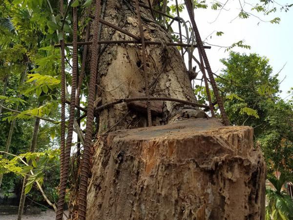 Toàn bộ từ phần gốc đến thân của cây sưa đỏ được bảo vệ bằng những thanh sắt lớn, dây gai.