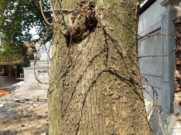 Dây thép gai bao quanh thân cây